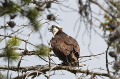 Hidden Osprey Stock Photo