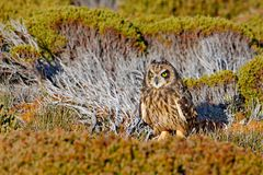 Hidden owl. Short-eared Owl, Asio flammeus sanfordi, rare endemic bird from Sea Lion Island, Fakland Islands, Owl in the nature ha royalty free stock photography