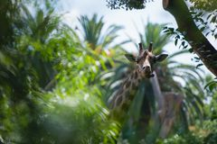 Hidden in palms giraffe shows tongue. Positive and funny scene of a giraffe hiding in green leaves of palms showing tongue Royalty Free Stock Photo