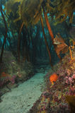 Hidden passage in kelp forest. Hidden sandy passage under kelp forest canopy Royalty Free Stock Image