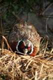 Hidden pheasant. A pheasant hidding in the countryside Royalty Free Stock Photo