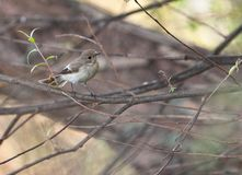 A hidden Pied Flycatcher Royalty Free Stock Photos