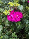 Hidden pink twin flowers in a garden against a green leafy backdrop Royalty Free Stock Photography