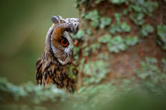 Hidden portrait Long-eared Owl with big orange eyes behind larch tree trunk, wild animal in the nature habitat, Sweden Stock Image
