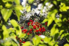 Hidden Private Garden Tulips Royalty Free Stock Photos