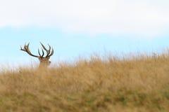 Hidden red deer buck Stock Images