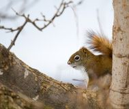 Hidden Red Squirrel. A red squirrel hides out in a tree Stock Photos