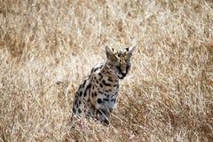 Hidden serval Stock Image