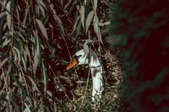 Hidden Shy Swan Behind Leaves royalty free stock photography