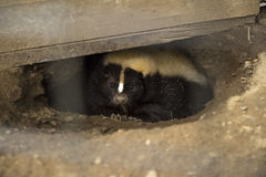 Hidden Skunk. Cute skunk peeking from a hole under a shed Royalty Free Stock Photography