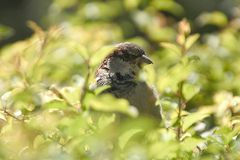Hidden sparrow. Sparrow hidden in bush Stock Photography