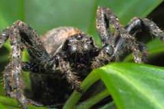 Hidden in a tarantula in plants. A tarantula spider to subject. 8 eyes of black, arranged in three columns 4-2-2. Step foot thick, spiny, because run, can jump royalty free stock photography