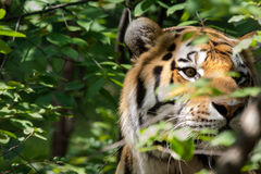 Hidden Tiger. A tiger hiding amidst the leaves Royalty Free Stock Photo