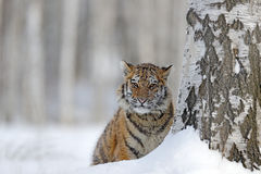 Hidden tiger with snowy face. Tiger in wild winter nature. Amur tiger running in the snow. Action wildlife scene, danger animal. C Royalty Free Stock Photo