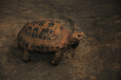 Hidden Tortoise Stock Photography