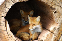 Free Hidden Twin Foxes Royalty Free Stock Photography - 16271397