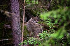 Hidden wolf. The wolf observed every step of mine. Photo was taken in visitor centrum in National Park Šumava. There is a pack of wolves with more than 10 Stock Photos
