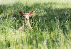 Hidden Young Deer Royalty Free Stock Image