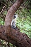 hidding的猴子behing树 免版税库存照片