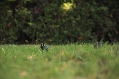 Hidding黑色鸟 免版税库存图片