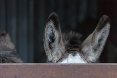 Hide behind fence donkeys ears Royalty Free Stock Images
