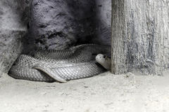 Hide Cobra Stock Photography