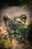Hide lioness. A lioness coming out from the bush Stock Photography