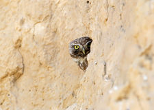 Hide little owl Stock Images