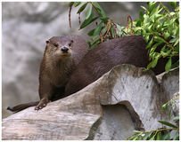 Hide. Otters playing hide and seek Stock Photo