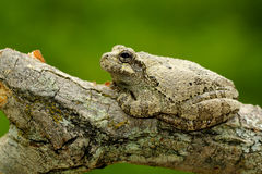 Copes Gray Treefrog Royalty Free Stock Photos