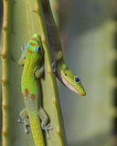 Hide and Seek. Two Gold Dust Day Geckos playing Hide and Seek on an aloe leaf Royalty Free Stock Photos