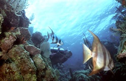 Hide and Seek. Female diver plays with some inquisitive spadefish in Utila,Bay Islands Stock Photos