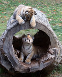 Hide and Seek. Brother and sister Siberian (Amur) tiger cubs play hide and seek in a log Royalty Free Stock Image