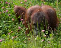 Hide and Seek. Orangutan hiding ehind some long grass Stock Photos