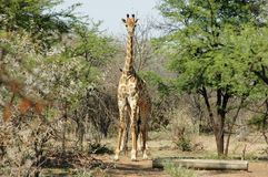 Hide and seek. Two giraffes, one standing behind the other royalty free stock photography