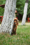 Hide and seek. An English cocker spaniel playing hide and seek in the park. The dog has a surprised look Stock Photos