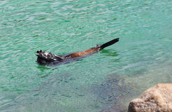 Hide and Seek - Australian Fur Seal (Sea Lion) Stock Photos