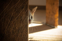 Hide and Seek. Cute little cat exploring and playing Royalty Free Stock Photo