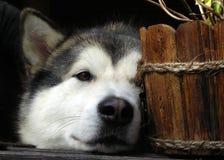 Hide-and-seek del Malamute d'Alasca Fotografie Stock Libere da Diritti