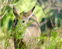 Hide and seek Duiker Royalty Free Stock Images