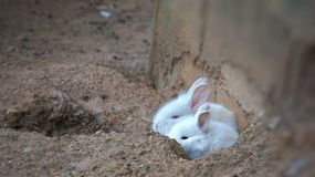 Baby rabbit asks his mom to hide nearby him in the sand bunker. Hide and seek game. Baby rabbit asks his mom to hide nearby him in the sand bunker. 2 White cute Royalty Free Stock Images