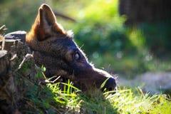 Hideen-Wolf stockbilder