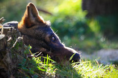 Hideen wolf Stock Images