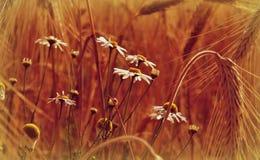 Wild flowers. Hiden wild flowers in the earcorn field Stock Photography