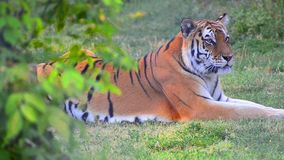 Hiden view of Tiger in the wild Stock Photography