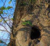 Hidey-отверстие в дереве с новым ростом разветвляет стоковые изображения