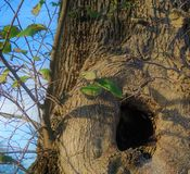 Hidey-hole in a tree with new growth branches. A tree regenerates in the spring with new leaf growth on a small branch.  The new bough is growing from nearby a Stock Images
