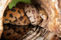 Hiding adult bullsnake Stock Image