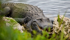 Hiding. Alligator hiding behind some bushes and rocks near a river in Florida Royalty Free Stock Photos