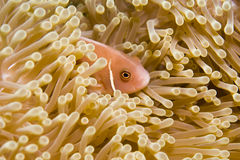 Hiding in an Anemone. Pink Anemonefish hiding its Anemone, Gulf of Thailand Stock Photography